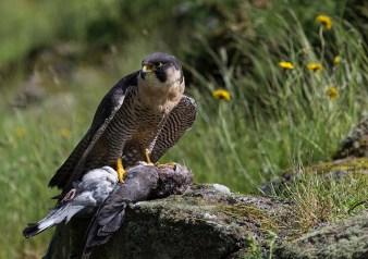 Peregrine Falcon (6)