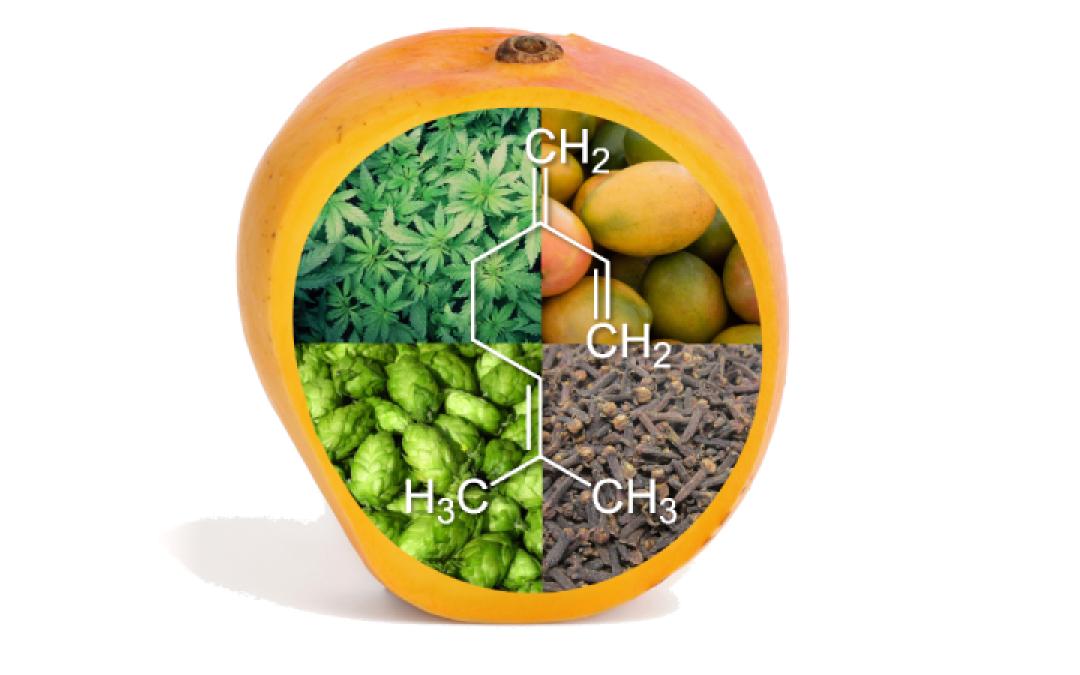 The Myrcene Terpene: Strains, Effects, and Benefits