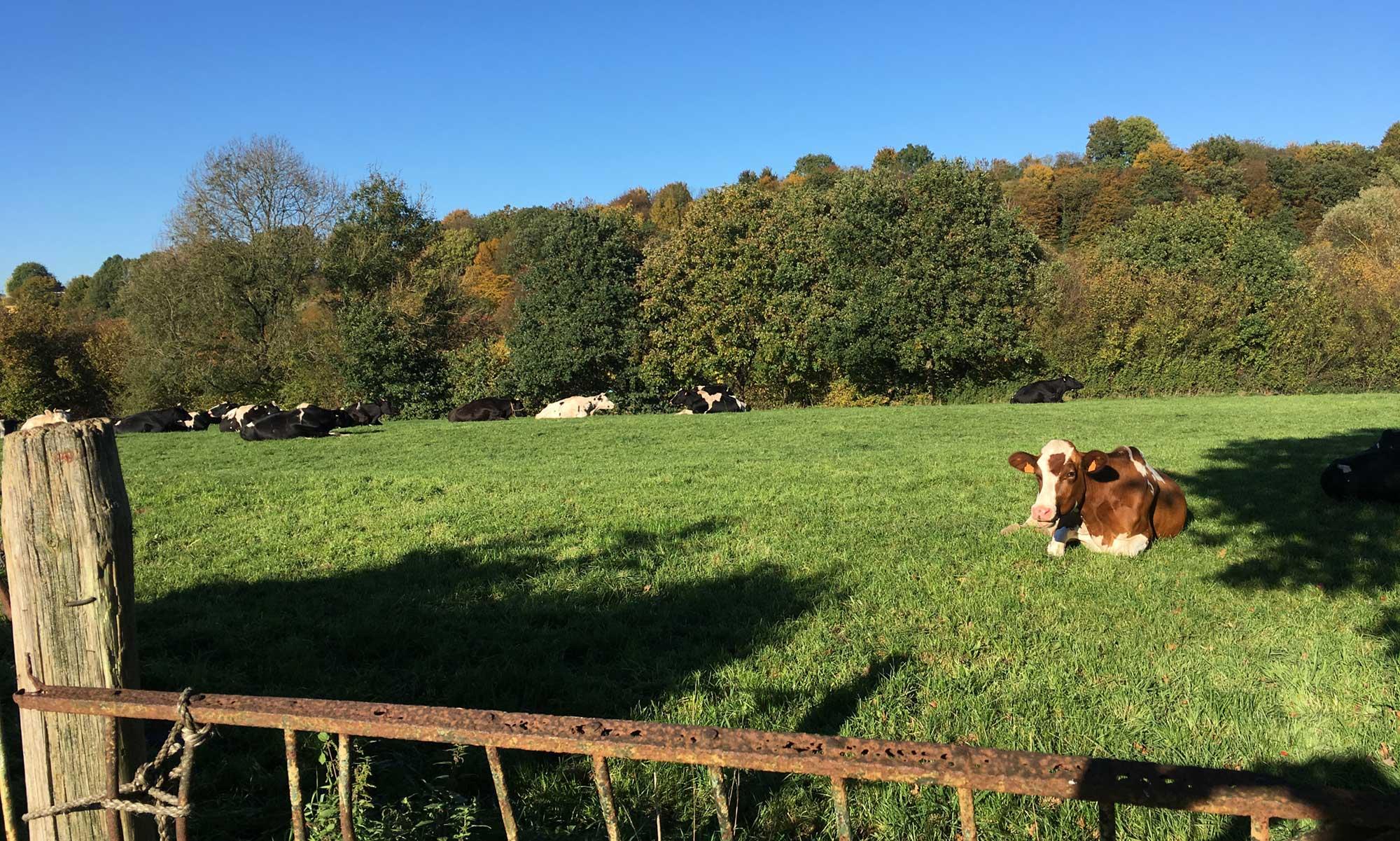 Kühe auf den Weiden am Heckenweg