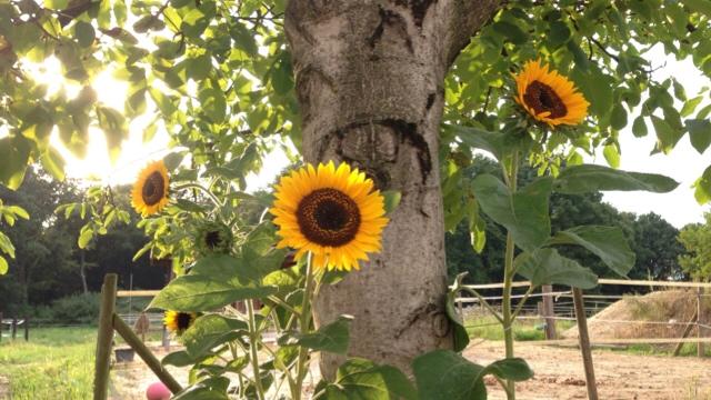 sonnenblume - goldener Herbst