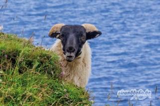 April – Inselschaf – Isle of Skye