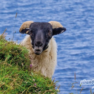 April – Inselschaf – Isle of Skye