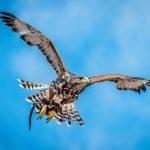 A proud hawk – The beauty of a flying hawk
