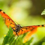 Der Monarchfalter // The monarch butterfly