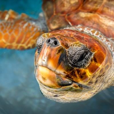 Eine Unechte Karettschildkröte