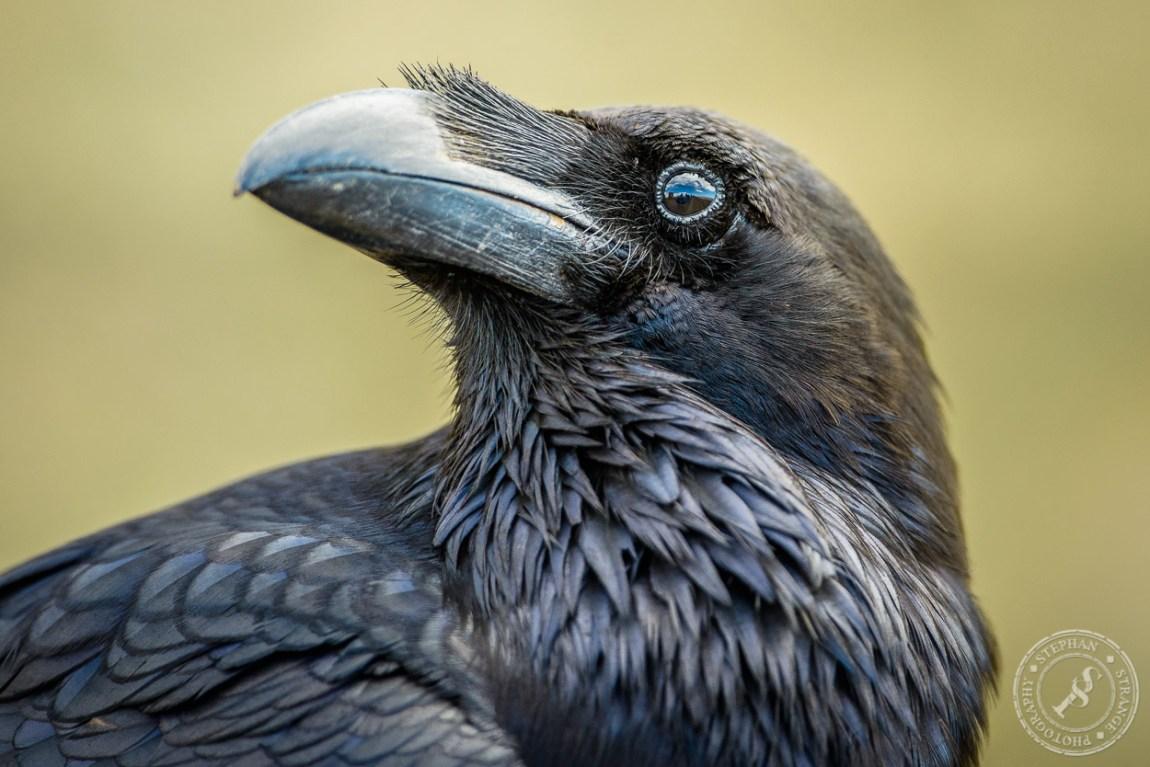 Kolkrabe (Corvus Corax) auf Fuerteventura. A common raven at Fuerteventura