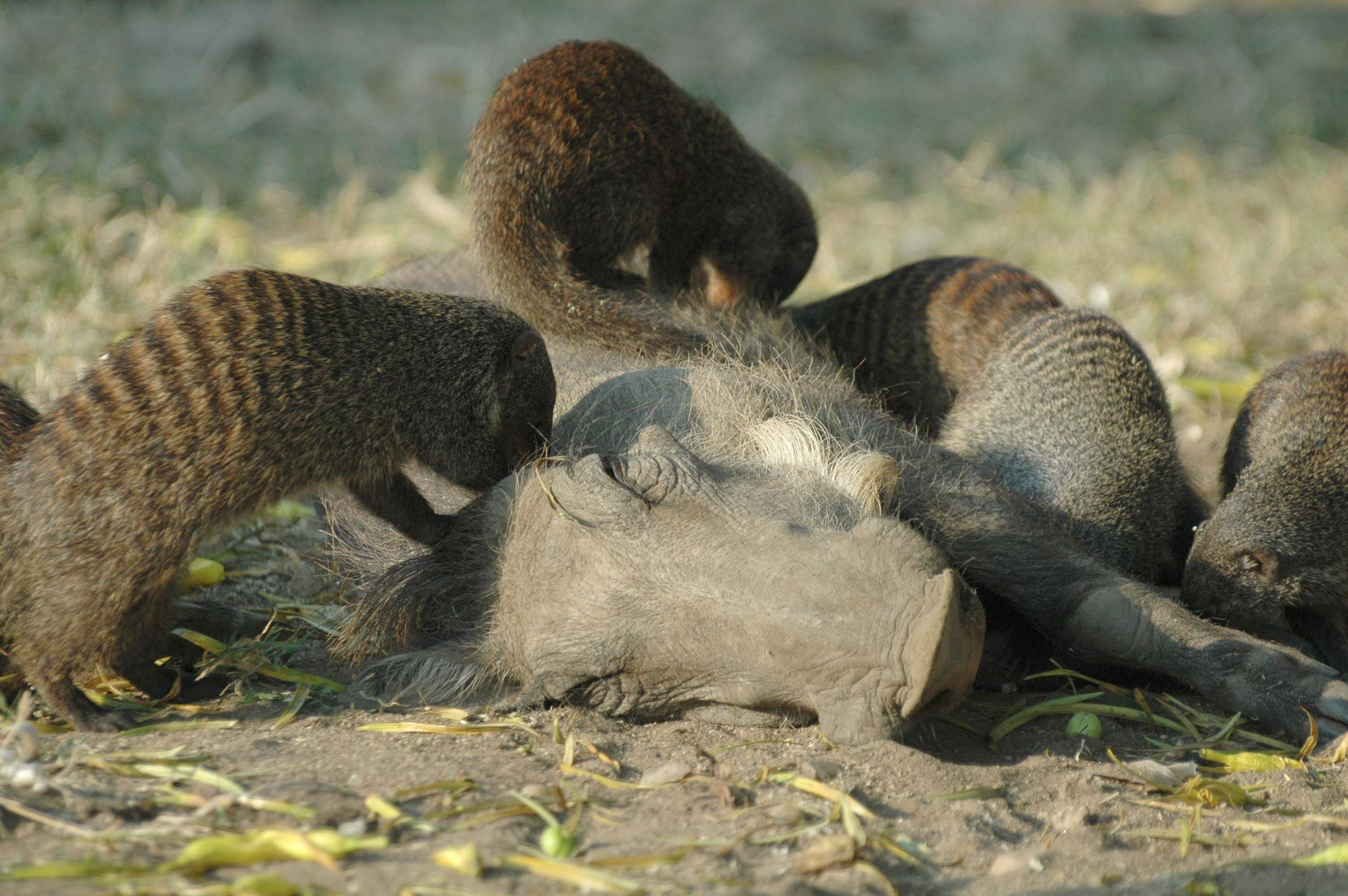 Cooperation Between Mammal Species Maybe Not So Rare