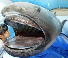 megamouth-shark