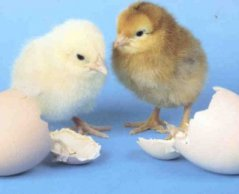 p_hatching_1_.jpg