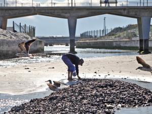 mussel die-off cape town june 2015
