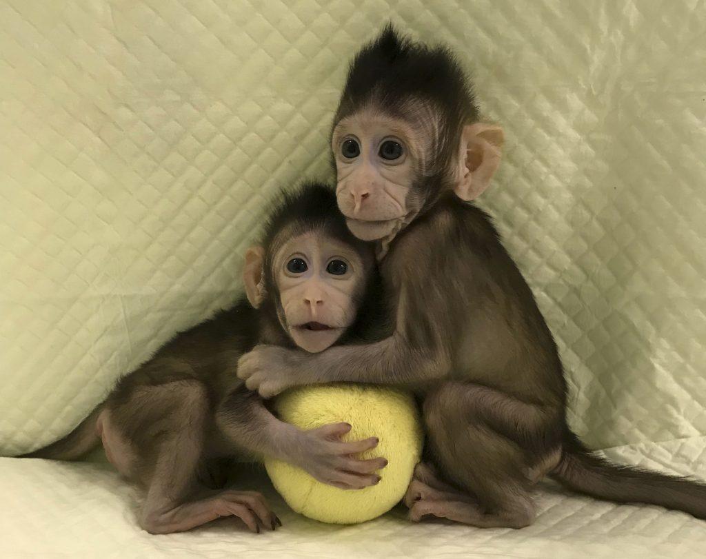 Cloned Monkeys, Cloned Monkeys china, China Cloned Monkeys