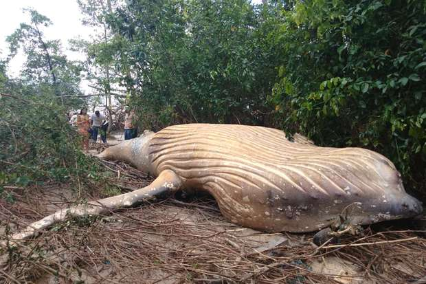 Humpback whale discovered in Amazon jungle, humpback whale brazil jungle, humpback whale brazil jungle video, humpback whale brazil jungle pictures