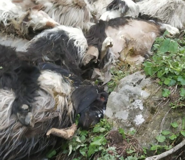 dead sheep Kashmir