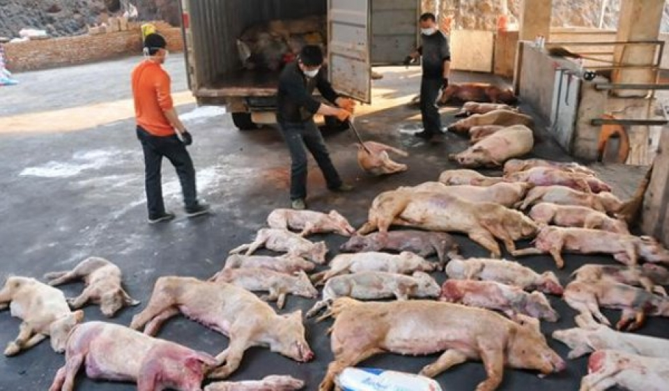 swine fever, african swine fever african swine fever chine, african swine fever world