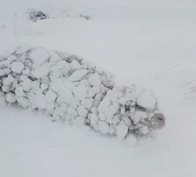 patagonia snowfall animals buried in snow, patagonia snow, patagonia snow buried animals, patagonia snowfall animals buried in snow