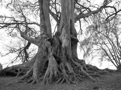Old,Tree,With,Visible,Roots,In,Black,And,White.
