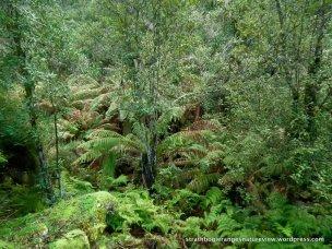 Tree Lomatia (Lomatia fraseri) and Soft Tree-fern (Dicksonia antarctica) in Sandy Creek gully.