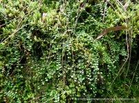 Necklace Fern (Asplenium flabellifolium)