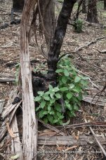 Signs of life for this Musk Daisy Bush (Olearia argophylla).