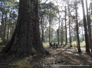This Messmate eucalypt was the special guest at our picnic.