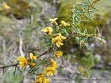 Prickly Parrot-pea was in flower.
