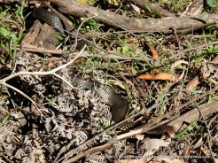 But don't forget to look down, though this Highland Copperhead (Austrelaps ramsayi) isn't looking for rouble.
