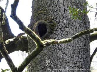Some Blackwoods even develop hollows - this one appears well-used.
