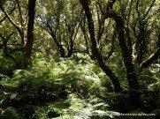 A Musk Daisy-bush forest over a carpet of ferns