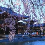 京都の桜 おすすめの穴場撮影スポット|宇治市編②|平等院・宇治上神社・宇治川