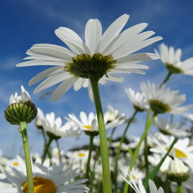 Birth Month Flowers - April - Daisy