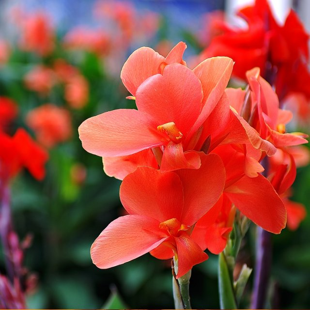 Birth Month Flowers - August - Gladiolus