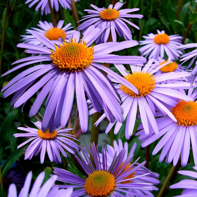 Birth Month Flowers - September - Aster