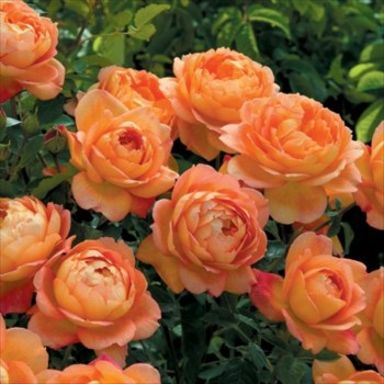 David Austin Climber Rose Lady of Shalott available from Strawberry Garden Centre, Uttoxeter