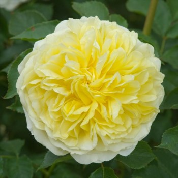David Austin Rose The Pilgrim Climbing Rose available from Strawberry Garden Centre, Uttoxeter