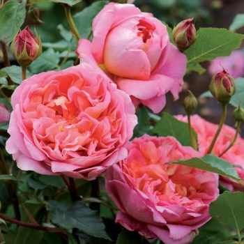 David Austin Shrub Rose Boscobel available from Strawberry Garden Centre, Uttoxeter