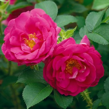David Austin Shrub Rose Wild Edric available from Strawberry Garden Centre, Uttoxeter