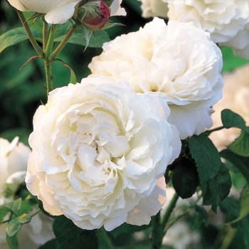 David Austin Shrub Rose Winchester Cathedral available from Strawberry Garden Centre, Uttoxeter