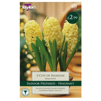 Taylors Bulbs TP607 Hyacinth City of Haarlem Prepared available from Strawberry Garden Centre, Uttoxeter