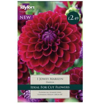 Taylors Bulbs TS367 dahlia jowey marilyn available from Strawberry Garden Centre, Uttoxeter