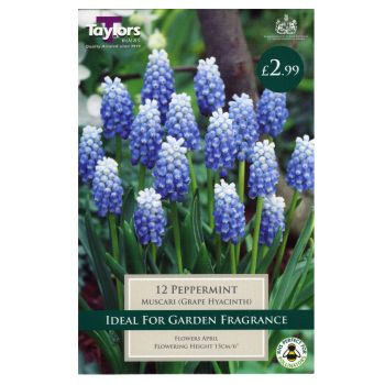 Taylors Bulbs TP840 Muscari Peppermint available from Strawberry Garden Centre, Uttoxeter