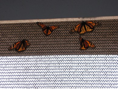 Butterflies in their enclosed area...