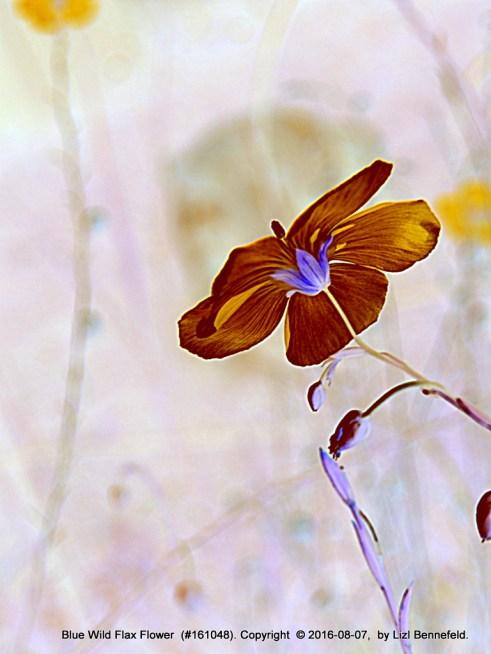 Blue Wild Flax Flower - Art