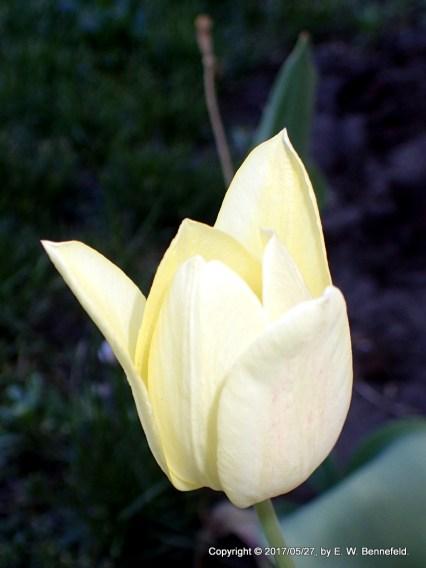 Yellow Tulip at Morning