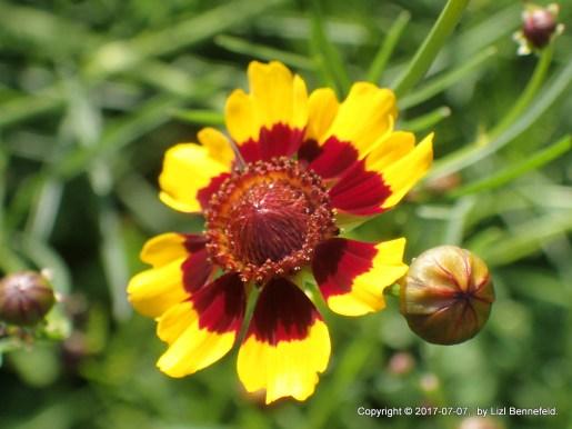 Plains Coreopsis, Lizl Bennefeld (2017-07-07)