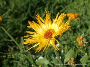 WIldflower in my Garden (Coreopsis?), by Lizl Bennefeld, 2017-07-08