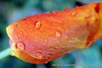 Red-to-yellow poppy curled up, sprinkled with raindrops