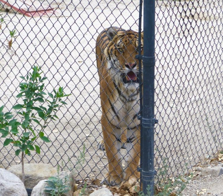 Name: Alexander Birthdate: May 1, 2002 Former Home: Tiger Rescue, Colton, CA Shambala Arrival Date: November 22, 2002