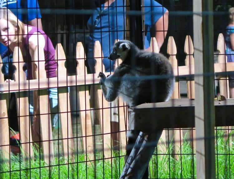 Stare Off...Lemur wins!