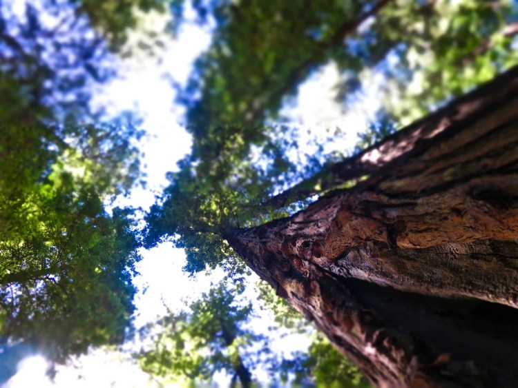 Today the Humboldt Redwoods spans 53,000 acres, an area almost twice the size of San Francisco.