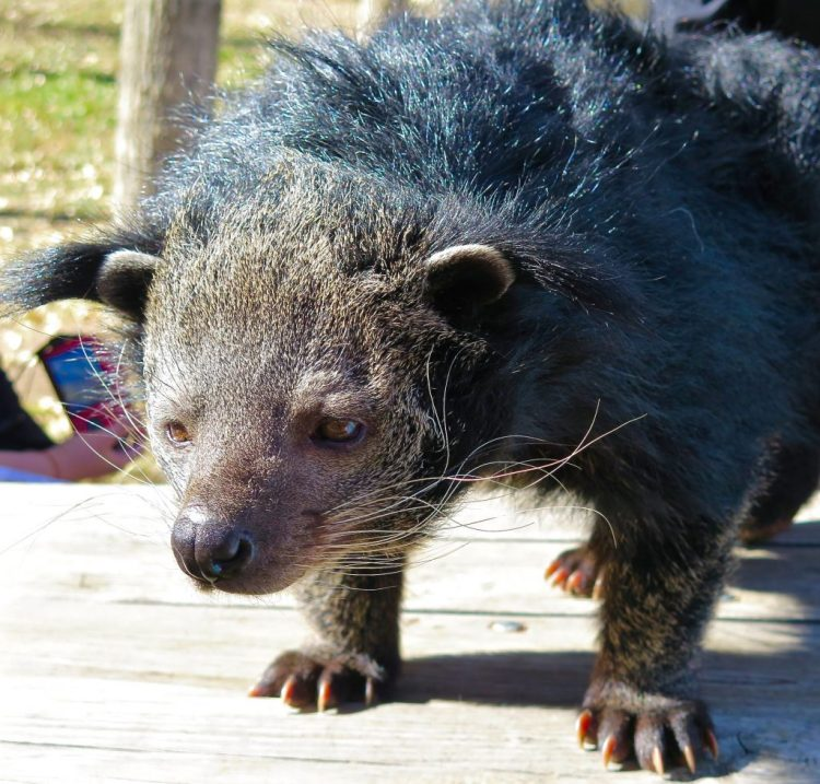 The binturong is a monotypic genus and its genus name Arctictis means 'bear-weasel', from Greek arkt- 'bear' + iktis 'weasel'. The feet are five-toed, with large strong claws.